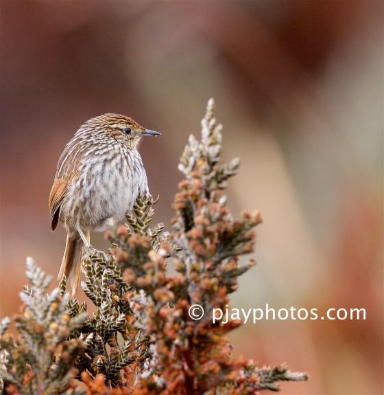 Many-striped Canastero, Asthenes flammulata, canistero. ovenbird, bird, ecuador