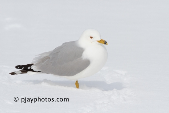 Ring-billed Gull, Larus delawarensis, gull, bird, canada