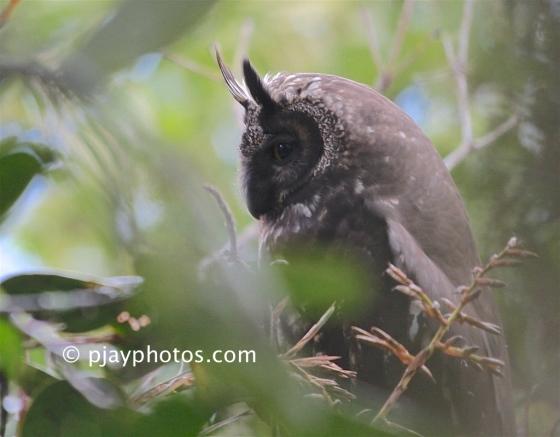 Stygian Owl, Asio stygius, owl, bird, colombia