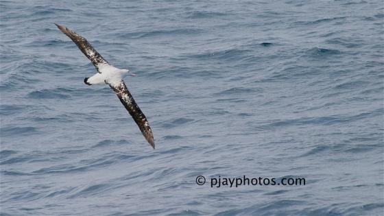 Wandering Albatross, Diomedea exulans, albatross, bird, australia