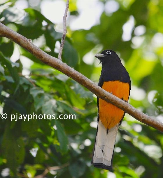 White-tailed Trogon, Trogon viridis, trogon, bird, colombia