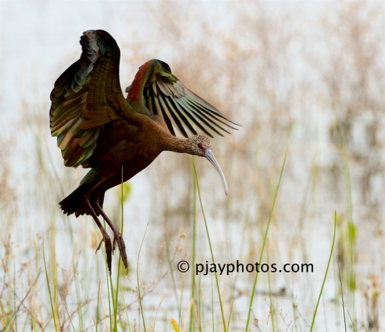 White-faced Ibis, Plegadis chihi, ibis, bird, texas, usa