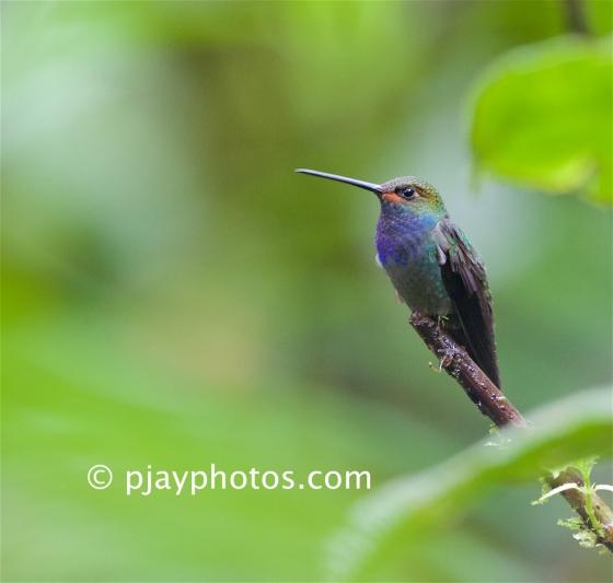 White-tailed Hillstar, Urochroa bougueri, hummingbird, bird, ecuador