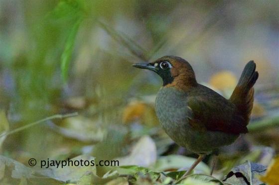 Black-faced Antthrush, Formicarius analis, antthrush, antbird, bird, costa rica