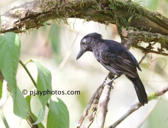 Black-hooded Antshrike, Thamnophilus bridgesi, antshrike. antbird, bird, costa rica