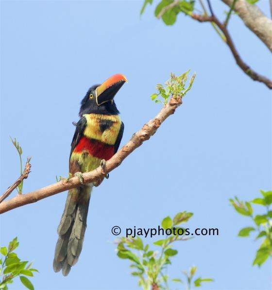 Fiery-billed Araçari, Pteroglossus frantzii, aracari, toucan, bird, costa rica