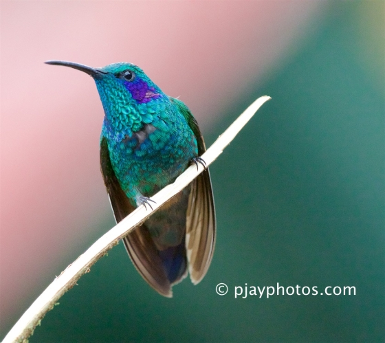 Green Violet-ear, Colibri thalassinus, hummingbird, bird, costa rica