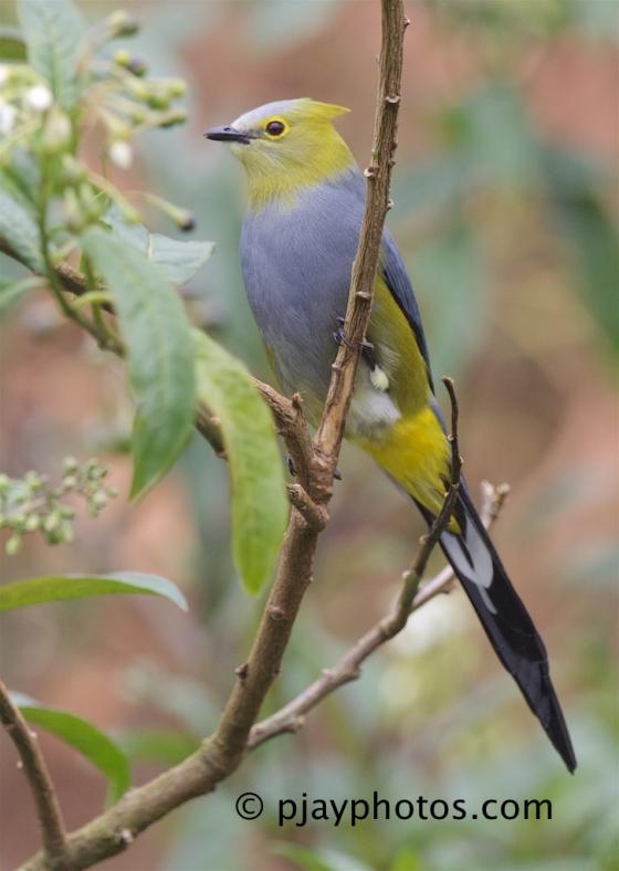 Long-tailed Silky-flycatcher, Ptilogonys caudatus, silky-flycatcher, bird, costa rica