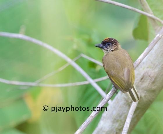 Olivaceous Piculet, Picumnus olivaceus, piculet, woodpecker, bird, costa rica