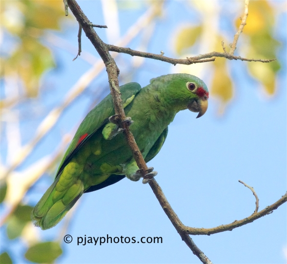 Red-Lored Amazon, Amazona autumnalis, red-lored parrot, parrot, bird, costa rica
