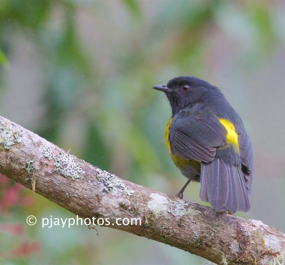 Black-and-yellow Silky-flycatcher, Phainoptila melanoxantha, silky-flycatcher, bird, costa rica