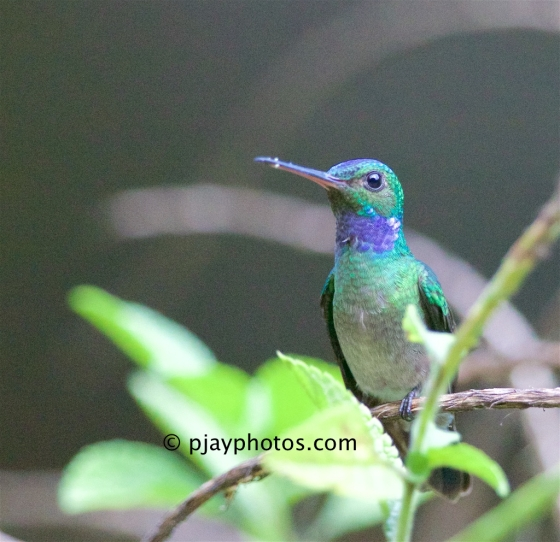 Charming Hummingbird, Polyerata decora, blue-chested Hummingbird, hummingbird, bird, costa rica