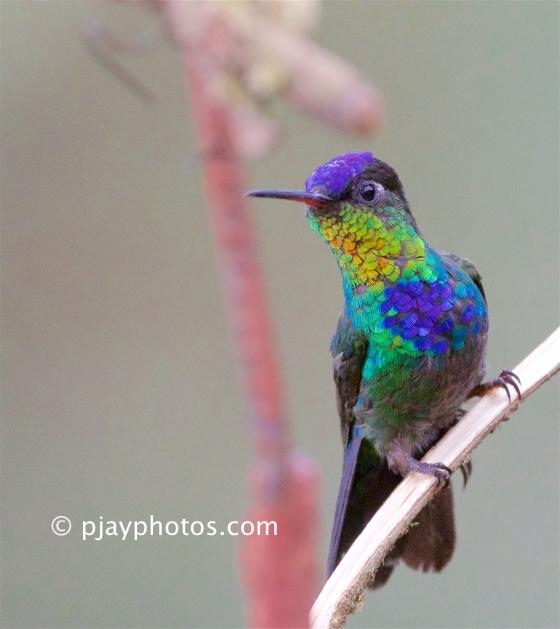 Fiery-throated Hummingbird, Panterpe insignis, hummingbird, bird, costa rica