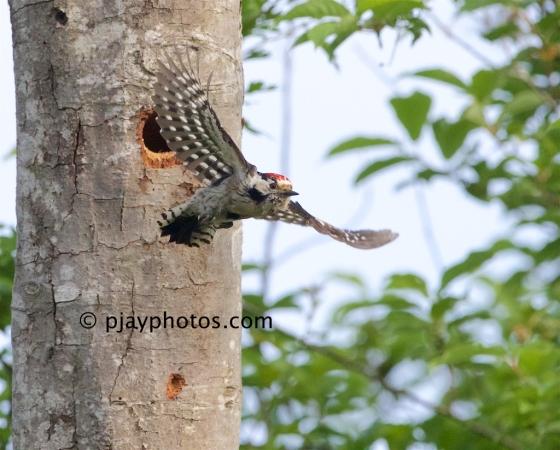 Lesser Spotted Woodpecker, Dendrocopos minor, woodpecker, bird, germany