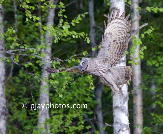 Great Grey Owl, Strix nebulosa, owl, bird, finland