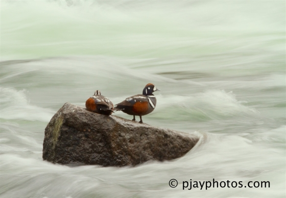 Harlequin Duck, Histrionicus histrionicus, duck, bird, usa