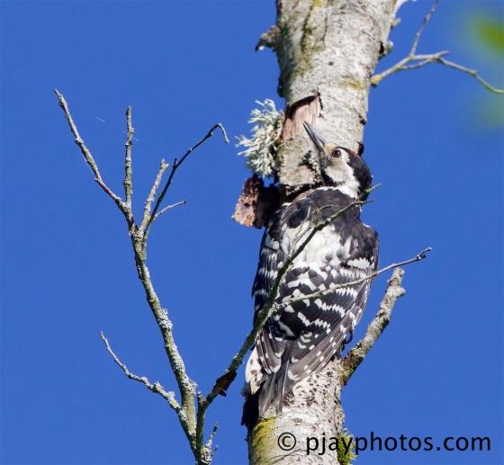 White-backed Woodpecker, Dendrocopos leucotos, woodpecker, bird, germany