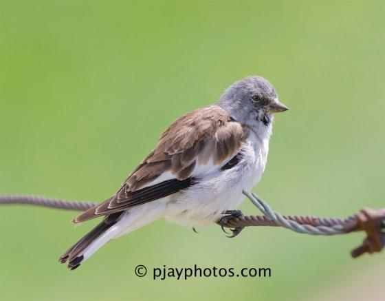 White-winged Snowfinch, Montifringilla nivalis, snowfinch, old world sparrow, bird, italy