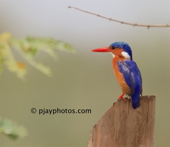 Malachite Kingfisher, Corythornis cristatus, kingfisher, bird, ethiopia