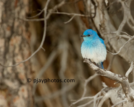 Mountain Bluebird, Sialia currucoides, bluebird, thrush, usa, yellowstone