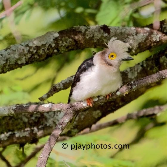 White-crested Helmet-shrike, Prionops plumatus, helmet-shrike, bird, ethiopia