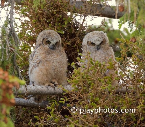 Great Horned Owl, Bubo virginianus, owl, owlet, bird, usa, yellowstone