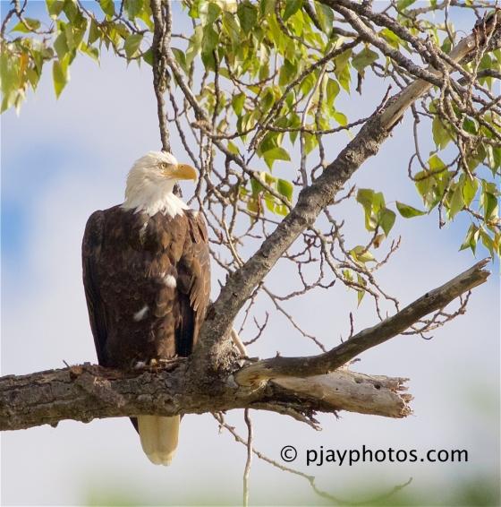 Bald Eagle, Haliaeetus leucocephalus, eagle, raptor, bird of prey, bird, canada
