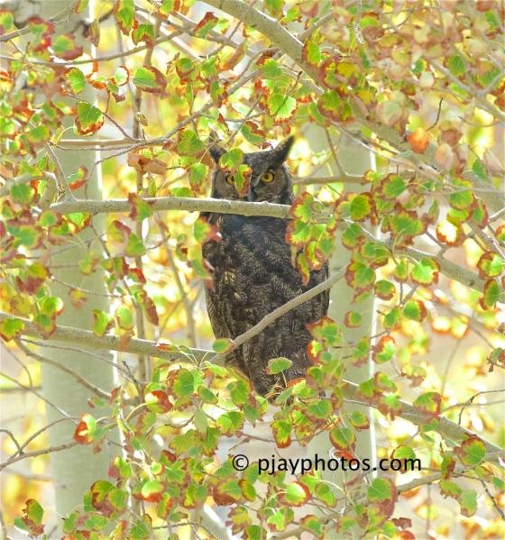 Great Horned Owl, Bubo virginianus, owl, bird, canada