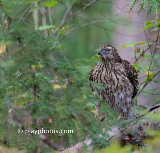 Northern Goshawk, Accipiter gentilis, goshawk, hawk, raptor, bird of prey. bird, canada