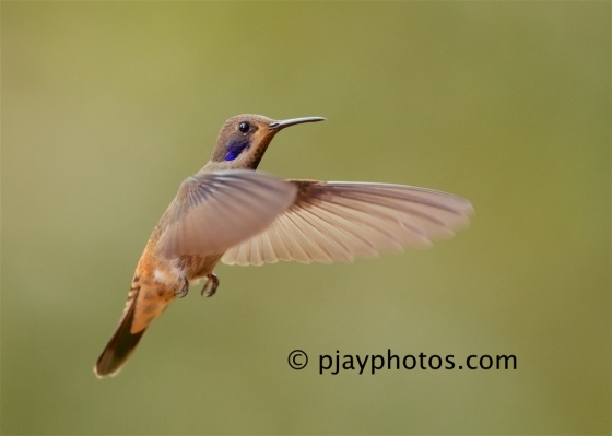 Brown Violet-ear, Colibri delphinae, brown violetear, hummingbird, bird, ecuador