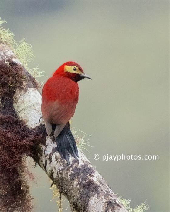 Crimson-mantled Woodpecker, Colaptes rivolii, woodpecker, bird, ecuador