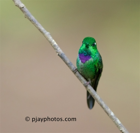 Purple-bibbed Whitetip, Urosticte benjamini, hummingbird, bird, ecuador