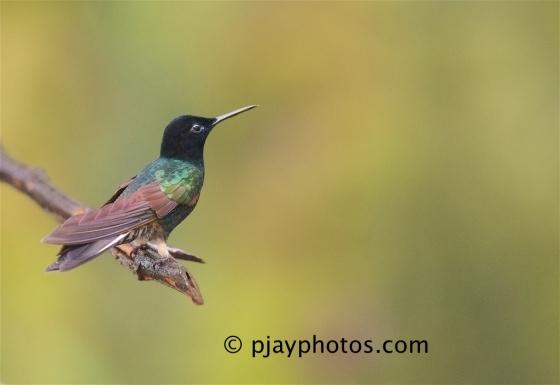 Velvet-purple Coronet, Boissonneaua jardini, hummingbird, bird, ecuador