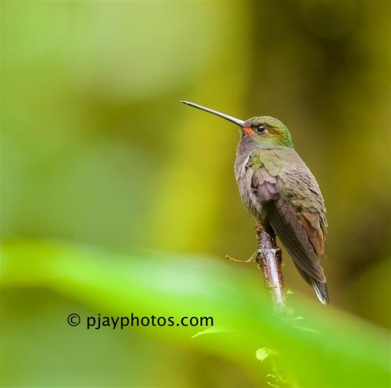 White-tailed Hillstar, Urochroa leucura, hummingbird, ecuador