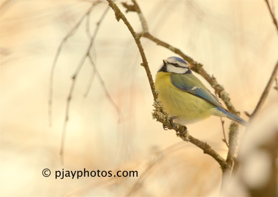 Common Blue Tit, Cyanistes caeruleus, blue tit, tit, bird, germany