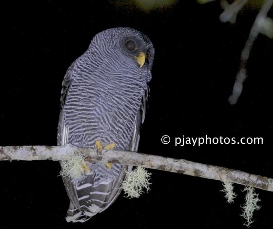 Black-banded Owl, Ciccaba huhula, owl, ecuador, bird, san isidro owl