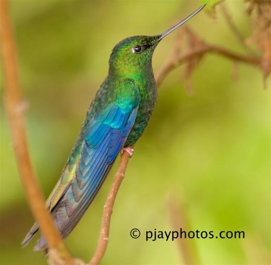 Great Sapphirewing, Pterophanes cyanopterus, hummingbird, bird, ecuador
