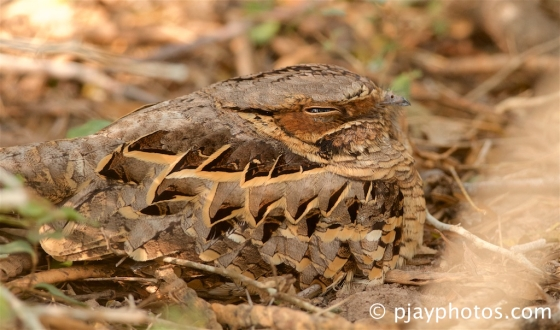 Pauraque, Nyctidromus albicollis, common pauraque, nightjar, bird, texas, usa