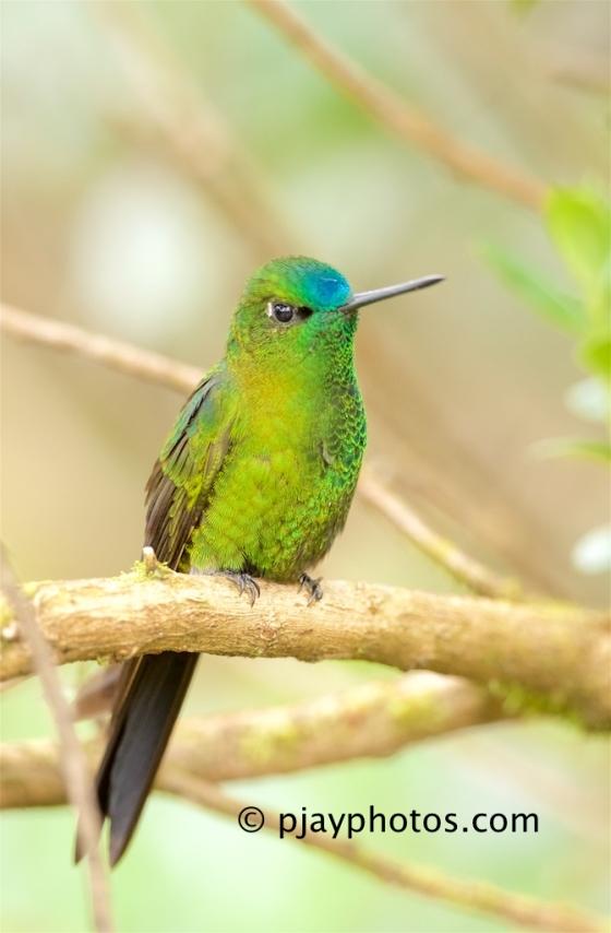 Sapphire-vented Puffleg, Eriocnemis luciani, hummingbird, bird, ecuador