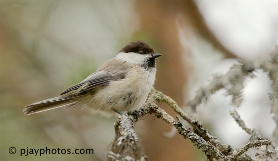 Siberian Tit, Poecile cinctus, tit, bird, finland
