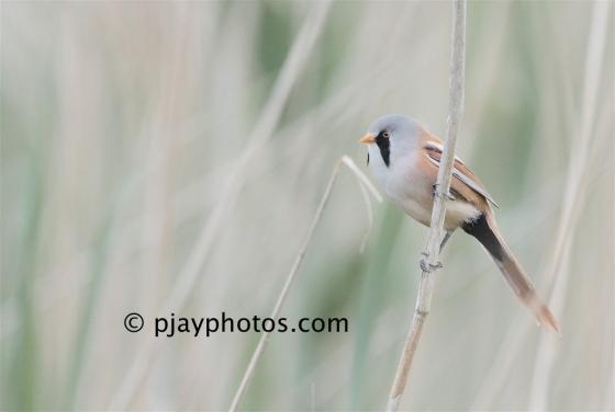 Bearded Parrotbill, Panurus biarmicus, parrotbill, bearded tit, bird, england, uk