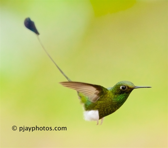 Booted Racket-tail, Ocreatus underwoodii, hummingbird, bird, ecuador