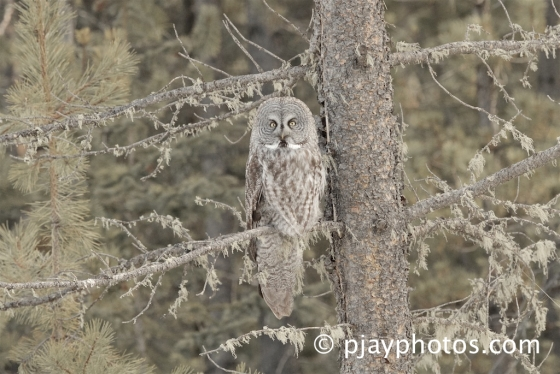 Great Grey Owl, Strix nebulosa, owl, bird, alberta, canada