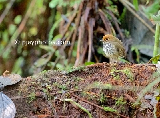 Peruvian Antpitta, Grallaricula peruviana, antpitta, ground antbird, antbird, bird, ecuador
