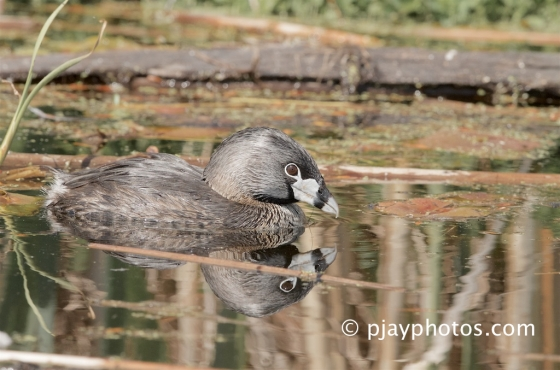 Pied-billed Grebe, Podilymbus podiceps, grebe, bird, usa, north america, washington state