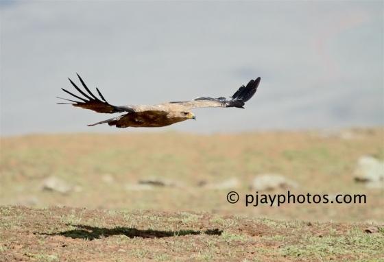 Tawny Eagle, Aquila rapax, eagle, raptor, bird of prey, bird, ethiopia