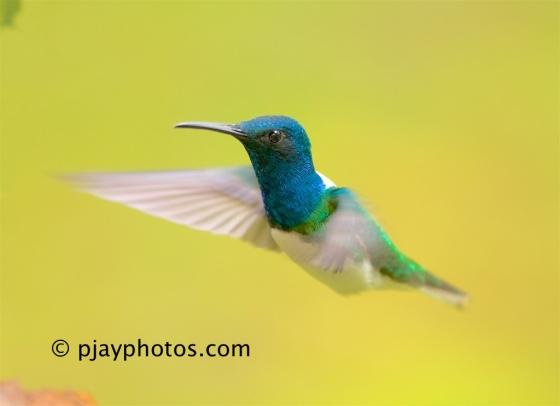 White-necked Jacobin, Florisuga mellivora, hummingbird, bird, ecuador