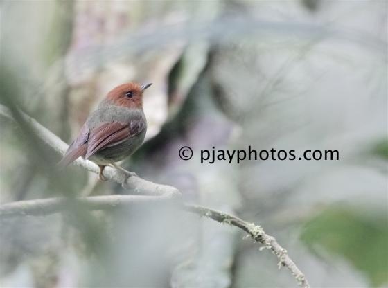 Rufous-headed Pygmy-tyrant, Pseudotriccus ruficeps, pygmy-tyrant, tyrant flycatcher, bird, ecuador