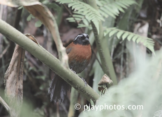 Tanager Finch, Oreothraupis arremonops, bird, colombia, new world sparrow