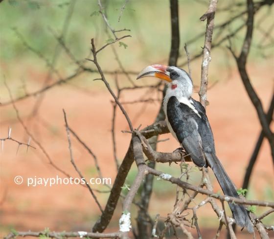 Von der Decken's Hornbill, Tockus deckeni, hornbill, bird, ethiopia